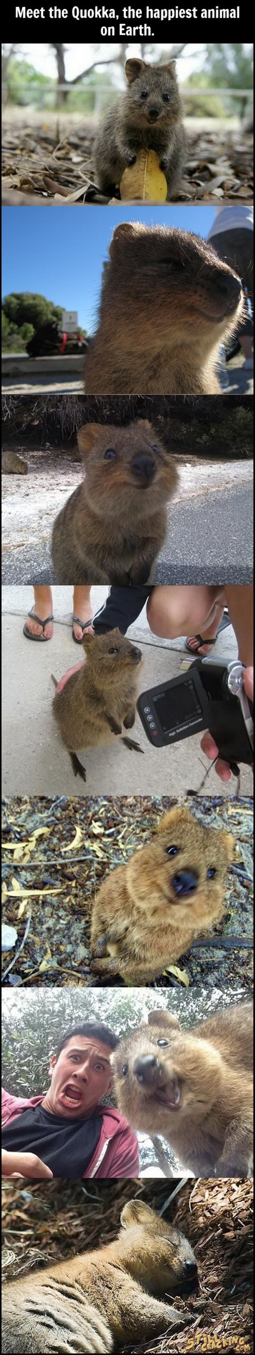 funny animals, cute pics, quokka