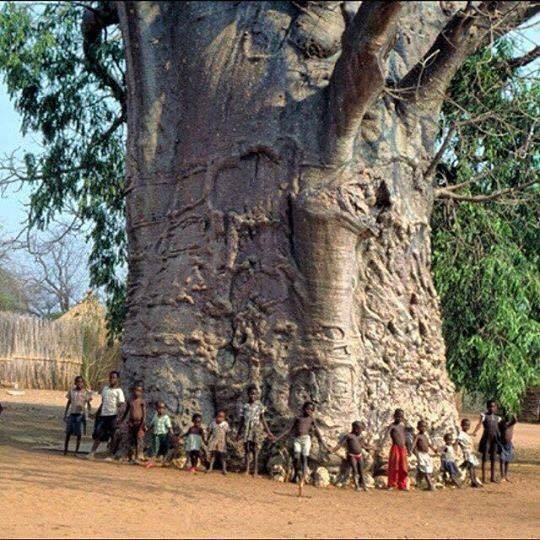 2000 Year Old Tree in Africa