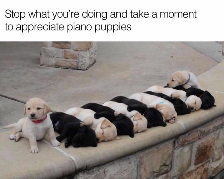 funny pics, cute, puppies, cute dogs, piano puppies