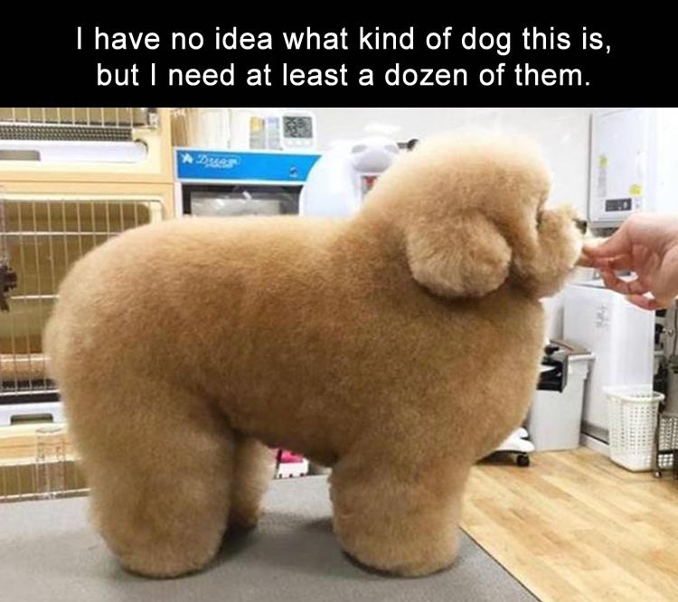funny dogs, lol pics, fluffy dog, cute